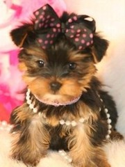 Amazing Female Yorkie For Adoption